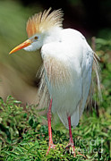 Fauna Posters - Cattle Egret Adult In Breeding Plumage Poster by Millard H. Sharp