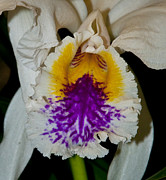 Cattleya Prints - Cattleya mossiae Featherhill Orchid Flower Print by Performance  Impressions
