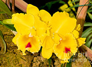 Cattleya Photo Prints - Cattleya Orchid Print by Millard H. Sharp
