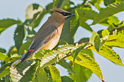 Natural Focal Point Photography - Cedar Waxwing 2