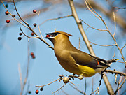 Cedar Waxwing Photos - Cedar Waxwing With Berry by Robert Frederick