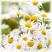 Outside Photo Posters - Chamomile flowers Poster by Elena Elisseeva