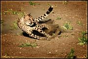 LeeAnn McLaneGoetz McLaneGoetzStudioLLCcom - Cheetah Chase
