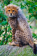Nick  Biemans - Cheetah cub on a rock