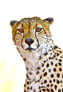 Bruce Colin - Cheetah portrait