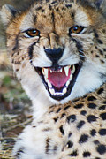 Cheetah Painting Framed Prints - Cheetah With Attitude Framed Print by Ted Widen