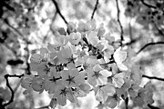 Cherry Blossom Prints - Cherry Blossom BW Print by Sean Cupp