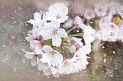 Sakura Mixed Media Prints - Cherry blossom  Print by Marta Holka