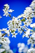 Cherry Blossom With Blue Sky Print by Raimond Klavins
