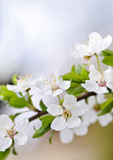 Cherry Blossom Photos - Cherry blossoms by Elena Elisseeva