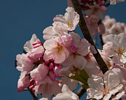 Cherry Blossoms - Cherry Blossoms by Glenn Franco Simmons