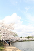 Petals Prints - Cherry Blossoms - Washington DC - 01131 Print by DC Photographer