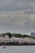 Tourist Art - Cherry Blossoms - Washington DC - 011311 by DC Photographer