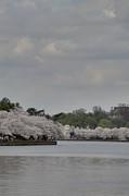 Cherry Blossoms - Washington Dc - 011335 Print by DC Photographer