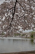 Soft Posters - Cherry Blossoms - Washington DC - 011337 Poster by DC Photographer