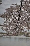 Patriotic Photo Prints - Cherry Blossoms - Washington DC - 011338 Print by DC Photographer