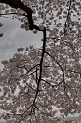 Attraction Framed Prints - Cherry Blossoms - Washington DC - 011339 Framed Print by DC Photographer