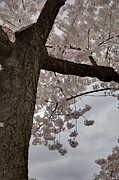 Cherry Blossoms - Washington Dc - 011340 Print by DC Photographer