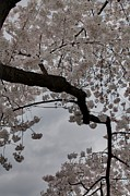 Petals Metal Prints - Cherry Blossoms - Washington DC - 011341 Metal Print by DC Photographer