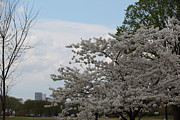Zen Photos - Cherry Blossoms - Washington DC - 011345 by DC Photographer