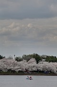 Cherry Blossoms - Washington Dc - 01139 Print by DC Photographer