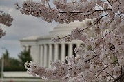 Flowering Metal Prints - Cherry Blossoms with Jefferson Memorial - Washington DC - 01133 Metal Print by DC Photographer