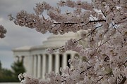 Trunk Photos - Cherry Blossoms with Jefferson Memorial - Washington DC - 01134 by DC Photographer
