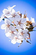 Tree Blossoms Prints - Cherry tree Blossoms Close up Print by Raimond Klavins