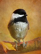 Cute Bird Photos - Chickadee by Angie Vogel