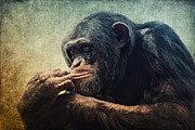 Angela Doelling AD DESIGN Photo and PhotoArt - Chimpanzee