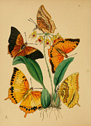 Medical Drawings - Chinese Butterflies 1847 by Unknown