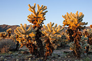 Doug Oglesby Acrylic Prints - Cholla Cactus Garden Acrylic Print by Doug Oglesby
