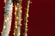 Three Trees Photos - Christmas lights on birch branches by Elena Elisseeva