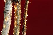 Christmas Lights On Birch Branches Print by Elena Elisseeva