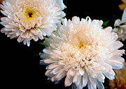 Johnson Moya - Chrysanthemum Flower...