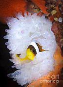 Yellowtail Clownfish Prints - Clarks Anemonefish In White Anemone Print by Steve Jones