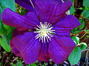 Joyce Woodhouse - Clematis Flower