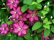 Clematis Print by Penny Lisowski