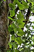 Vine Leaves Posters - Climbing Vine Poster by Bonnie Bruno