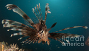 Osteichthyes Framed Prints - Close-up View Of A Lionfish. Gorontalo Framed Print by Steve Jones