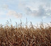 Sandra Cunningham - Closeup of corn stalks