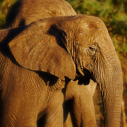 Nick  Biemans - Closeup portrait of an African Elephant