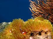 Fototrav Print - Clownfish in Coral garden
