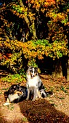 Puppies Photo Originals - Collie dogs in autumn sun by Jyeh Wang