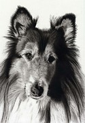 Charcoal Dog Drawing Drawings Posters - Collie Poster by Joey Bergeron