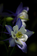 Saija  Lehtonen - Colorado Blue Columbine