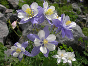 Robert Lozen Metal Prints - Colorado Blue Columbines Metal Print by Robert Lozen