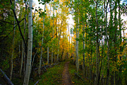 Aspen Trees Framed Prints - Colorado Fall Hike Framed Print by Michael J Bauer