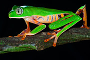 Crawling Posters - Colorful Tree Monkey Frog Poster by Dirk Ercken