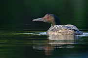 Daniel Forget - Common Loon